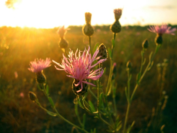 russian-knapweed.jpg